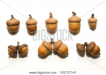 Many  Brown Acorns  With Hats On Over White