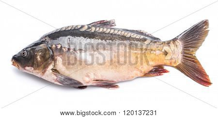 Common carp -food fish isolated on a white background.