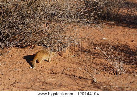Yellow Mongoose, Kalahari Desert, South Africa