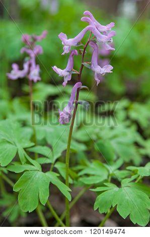 Flower Of Birthwort