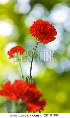 Carnation Flower In The Garden On A Green Background