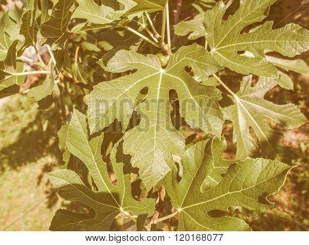Retro Looking Fig Tree Leaf
