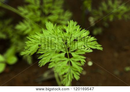 Young Carrot Plant Growing From Soil