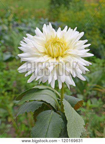 Dahlia-cactus flower white