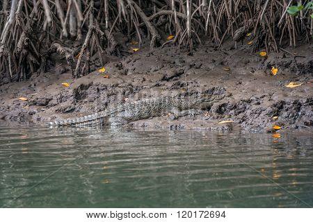 Crocodile On River Bank, Daintree