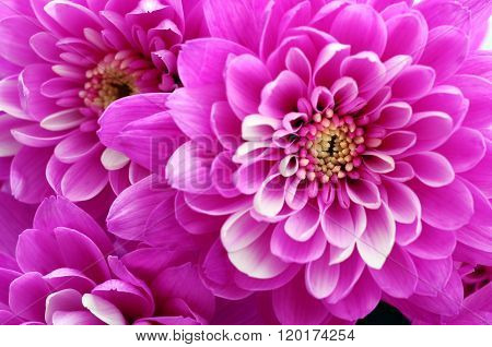 Close Up Of Pink Flower Aster