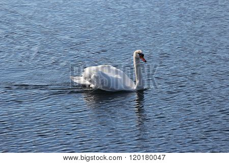 Lone Swan In The Water