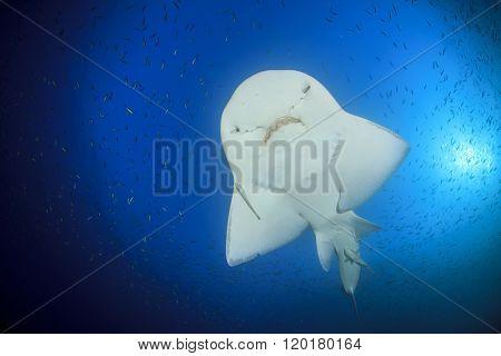 Shark Ray (Bowmouth Guitarfish) (Guitar Shark) (Rhina anclyostoma)