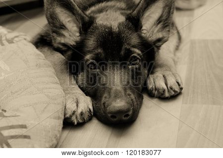 Sad German Shepherd Puppy