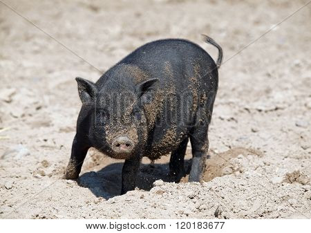 Black mini pig  in sand