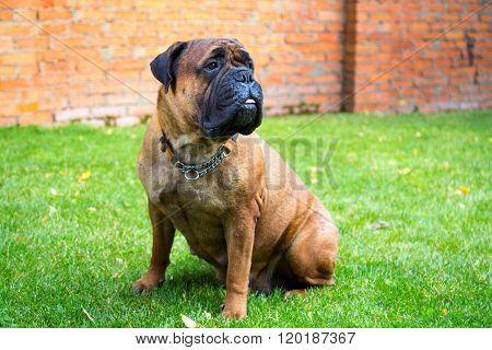 Bullmastiff sitting on a grass