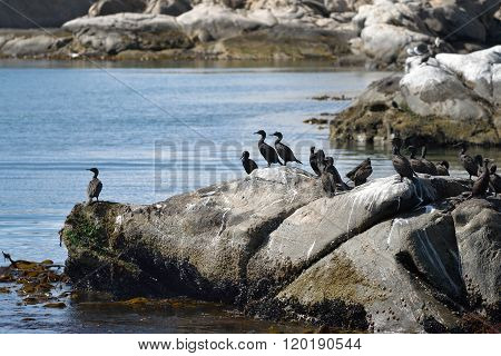Cape Cormorants On The Rocks