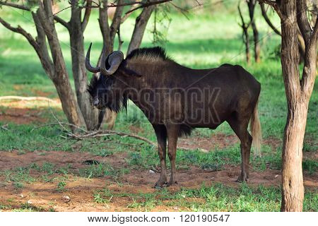 Black Wildebeest. African Wildlife, Namibia
