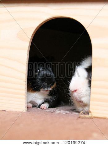 two guinea pigs in the shelter