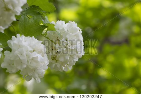 Guelder-rose flowers.