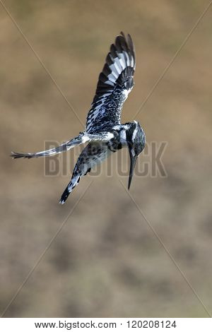 Pied Kingfisher Hover In Flight To Hunt