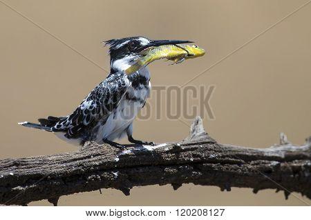Pied Kingfisher kills fish on a branch