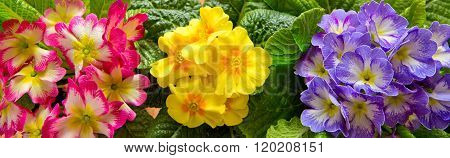 Colorful primula flowers .