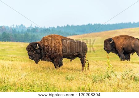 Two American Bison