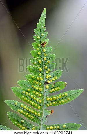 Polypody (Polypodium vulgare) showing spores on underside