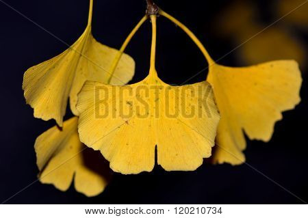 Ginkgo biloba yellow leaves