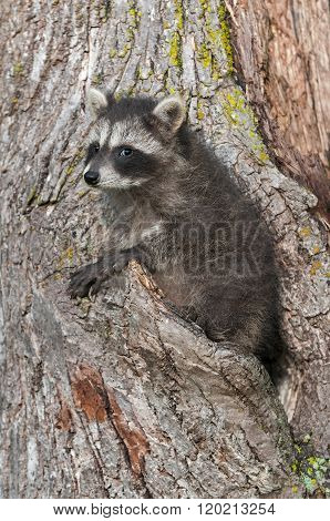Young Raccoon (procyon Lotor) Looks At Viewer