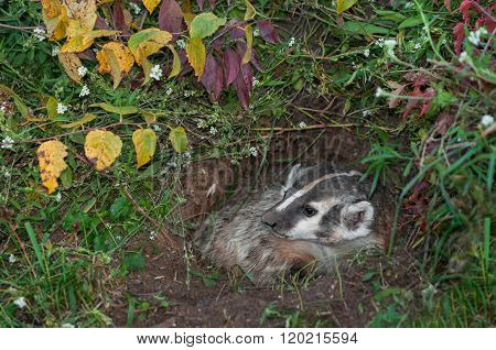 North American Badger (taxidea Taxus) In Den Looks Left