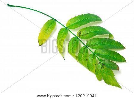 Leaf Of Rowan Isolated On White Background