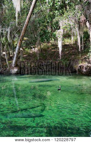 West Indian Manatee, Blue Spring, Florida, Usa