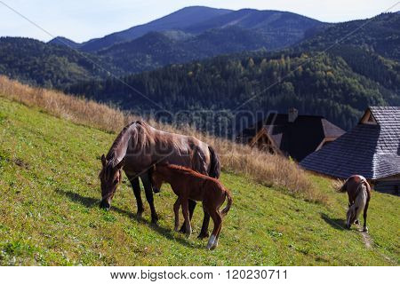 The big horses family on a hill on mountain background