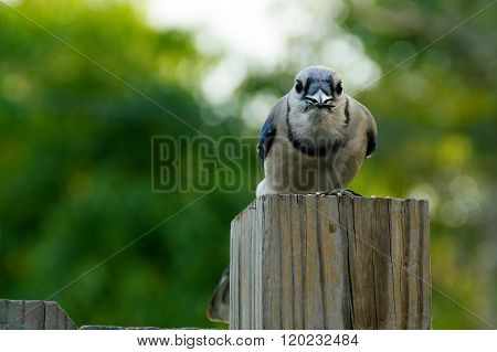 Blue Jay Looking At Viewer