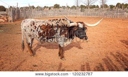 Texas Longhorn Steer At Pipe Spring National Monument