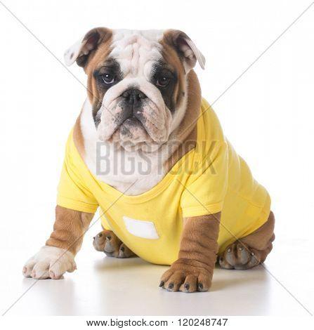 english bulldog puppy wearing yellow sweater on white background