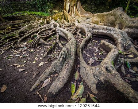 Enormous tree roots