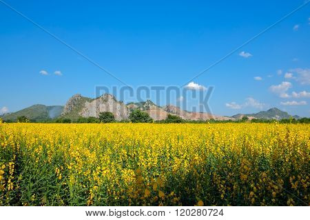 Sunn Hemp Field With Mountain And Clear Blue Sky Background