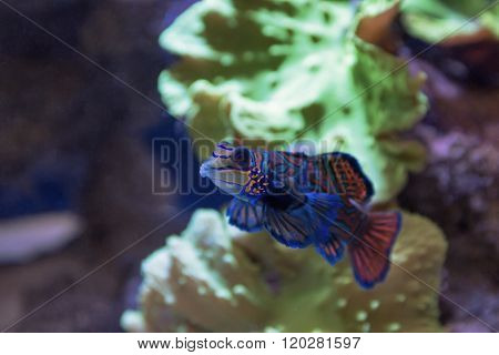 Small tropical fish Mandarinfish