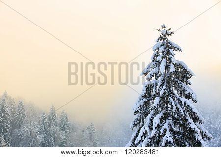 Winter Scenery With Snow Covered Spruce Tree