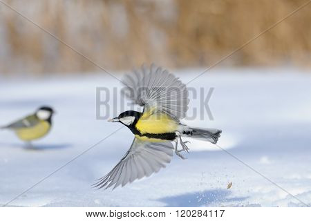Flying Great Tit With A Seed Above The Snowdrift