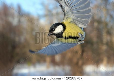 Flying Great Tit In Winter Forest