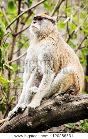 Patas Monkey - Erythrocebus Patas - Sitting On The Branch And Observing Surroundings