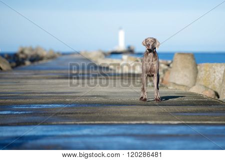 weimaraner dog posing outdoors