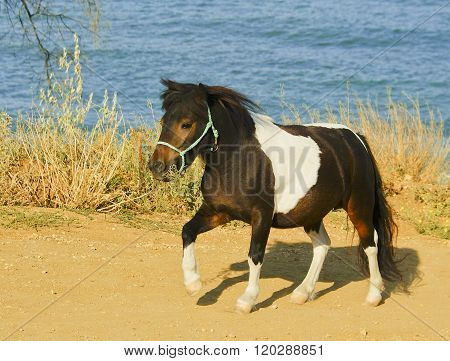 black white horse walking on the ground next to a bush on the background of the sea
