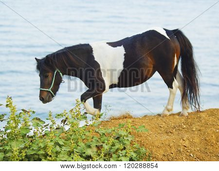 black white horse walking on the ground next to a green bush on the background of the sea