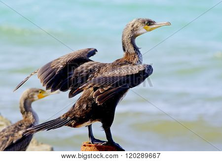 Black Cormorant sitting on a concrete pier spreading its wings against the sea