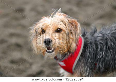 Panting dog on a beach