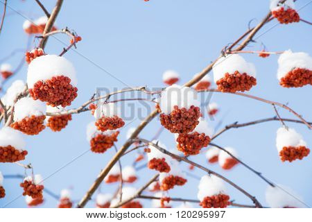Red rowan in the snow