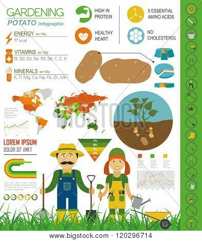 Gardening work, farming infographic. Potato. Graphic template. Flat style design