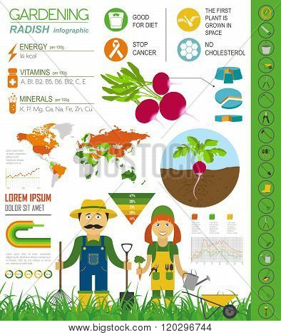 Gardening work, farming infographic. Radish. Graphic template. Flat style design