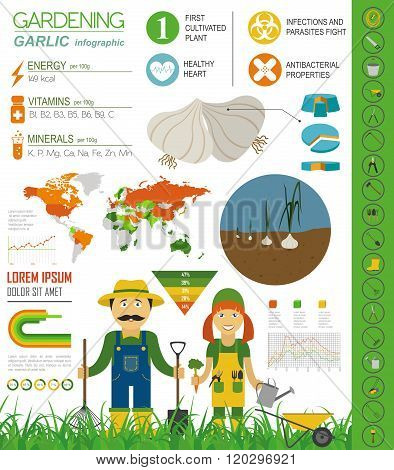 Gardening work, farming infographic. Garlic. Graphic template. Flat style design