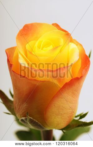 Close Up Of Orange And Yellow Rose Flower
